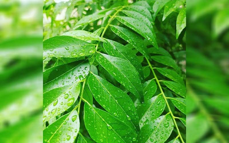 Curry Leaves Benefits: 5 Health Benefits Of Kadi Patta You Should Know About!