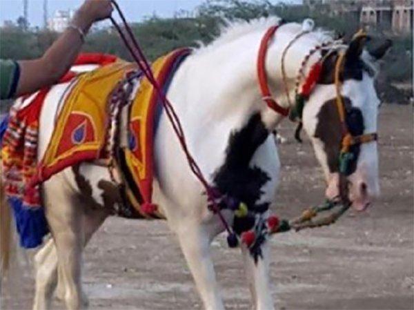 saqab horse