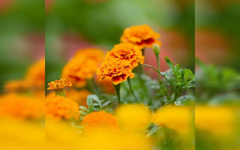 Use This DIY Marigold Flower Face Pack For A Glowing And Beautiful Skin